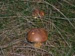 Maronenröhrling-Boletus badius