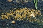 Gelbes Knopfbecherchen-Orbilia delicatula