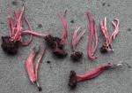 Lachsrosa Keule-Clavaria rosea