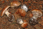 Rauchblättriger Klumpfuss-Cortinarius napus