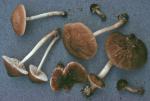 Verschiedenfarbiger Dachpilz-Pluteus plautus