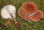 Drehstieliger Rosasporrübling-Rhodocollybia prolixa var. distorta
