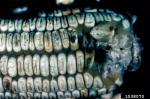 :-Aspergillus flavus