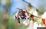 Amerikanisches Heidelbeer-Fruchtbecherchen-Monilinia vaccinii-corymbosi