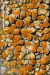 :-Caloplaca flavovirescens