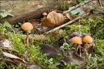 Überhäuteter Häubling-Galerina autumnalis