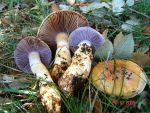 :-Cortinarius caligatus