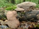 Zimtfarbener Weichporling-Hapalopilus rutilans