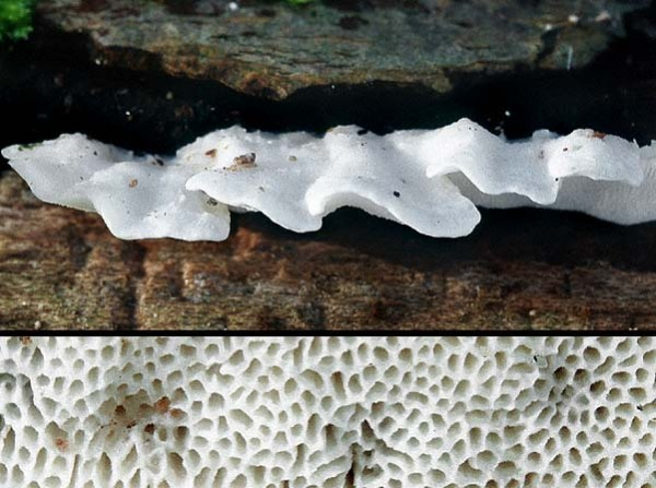 Knorpelige Weissfäuletramete-Antrodiella semisupina