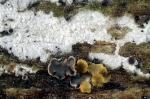 Weißliche Traubenbasidie-Botryobasidium candicans
