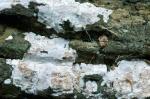 Zahnhaut-Dendrothele acerina