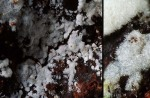 :-Hypochnicium karstenii