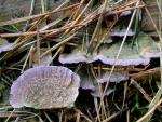 Gemeiner Violettporling-Trichaptum abietinum