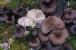 Dunkler Kohlennabeling-Myxomphalia maura