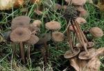 Gymnopus fagiphilus-Gymnopus fagiphilus