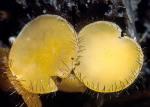 Gemeiner Mistborstling-Cheilymenia fimicola