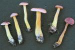 Violettbrauner Schwefelritterling-Tricholoma bufonium