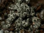 :-Cercophora coprophila