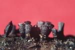 Keilförmiger Kohlenpilz-Glyphium elatum