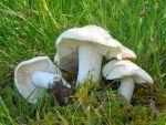 Майский гриб, или рядовка майская