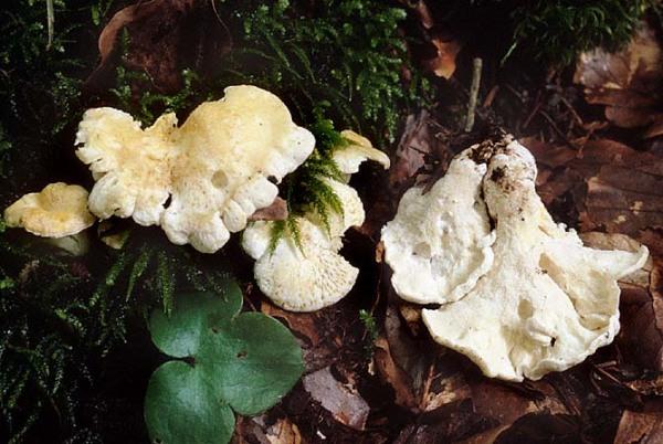 Rötender Schafeuterporling-Albatrellus subrubescens