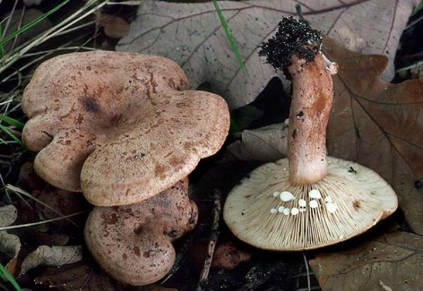 Eichenmilchling-Lactarius quietus