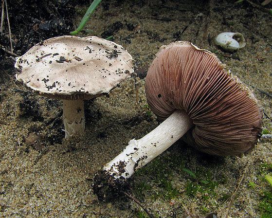 Sand-Egerling-Agaricus devoniensis