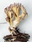 Lavendelkoralle-Ramaria subdecurrens