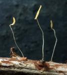 Gelbstieliges Fadenkeulchen-Typhula lutescens