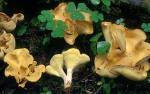 : Porling-Albatrellus syringae