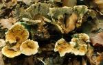 : Dauerporling-Coltricia confluens