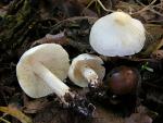Weisser Erdritterling-Tricholoma albidum
