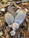 Aschgrauer Misttintling-Coprinopsis cinerea