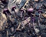 : Mäuseschwanzrübling-Pseudobaeospora celluloderma