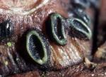 : Spaltlippe-Lophodermium conigenum