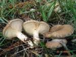 Brauner Kräuterseitling-Pleurotus eryngii