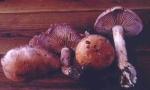 Grauvioletter Schleimkopf-Cortinarius lividoviolaceus