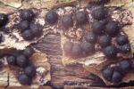 Eschen-Zitzenkohlenbeere-Rosellinia mammiformis