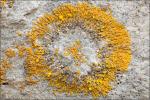:-Caloplaca cirrochroa