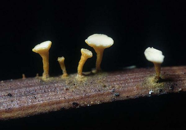 : Antinoa-Antinoa proximella