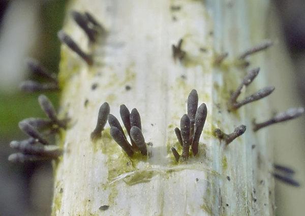 Fadensporiges Flachkeulchen-Acrospermum compressum